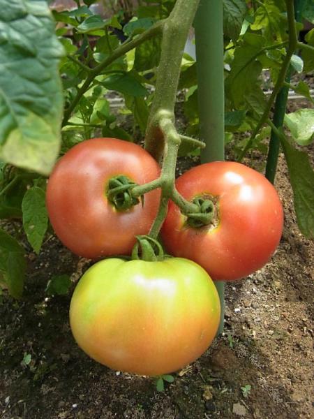 トマトと無農薬野菜